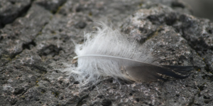 feather on rocks at seal cove