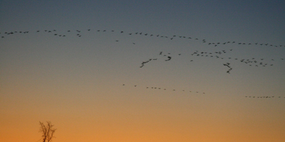 hundreds of geese flying as sun sets