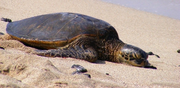 Sea turtle napping on a sandy shore in Hawaii.