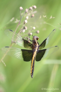 photograph of dragonfly