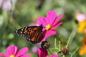 photo of monarch butterfly on a pink flower