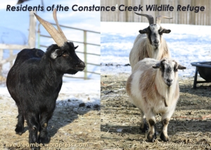 photo of goats from constance creek wildlife refuge