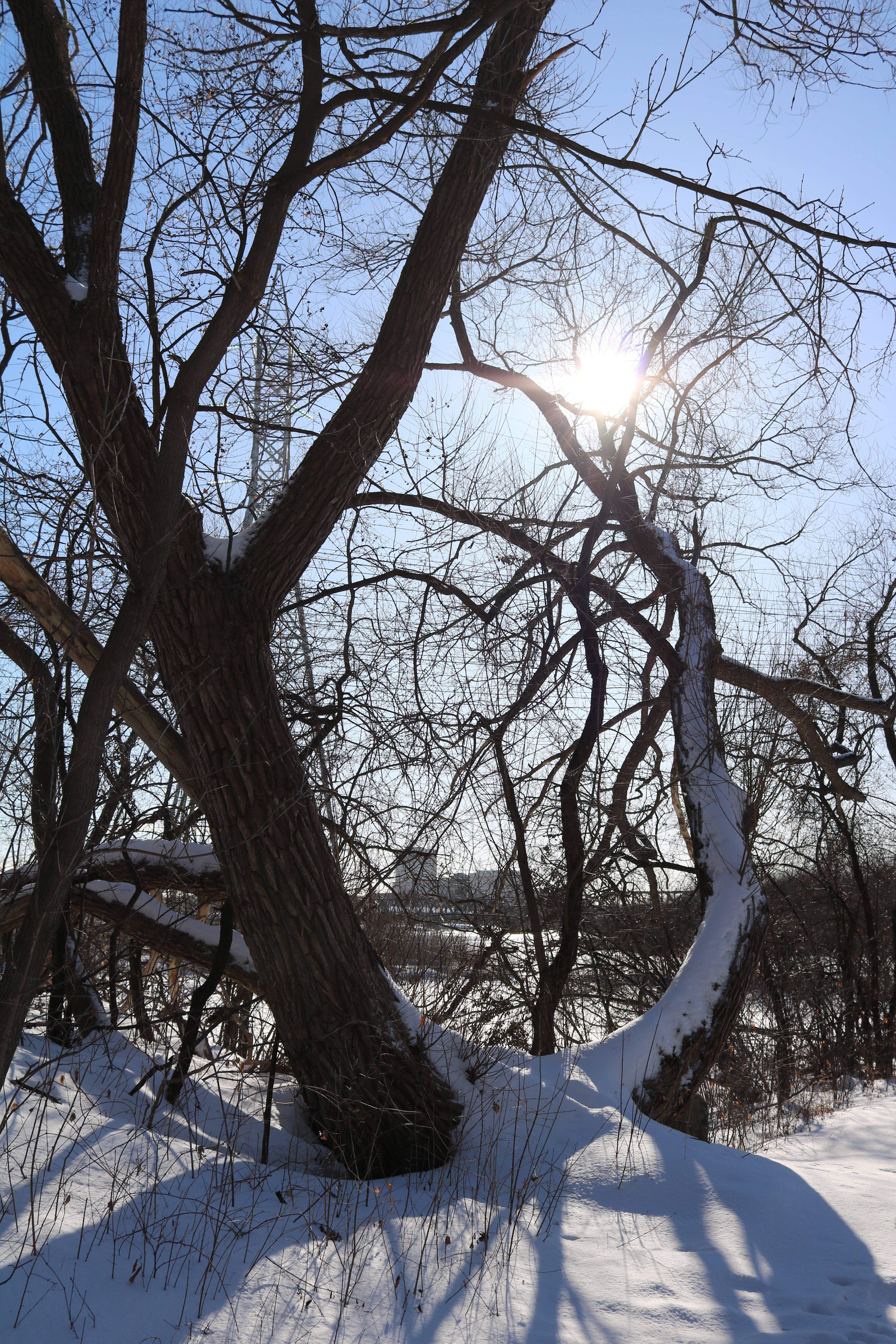 snow covered tree with sun flare behind a branch.