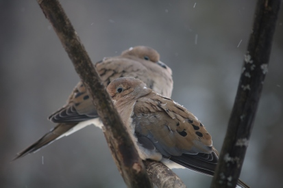 mourning doves sitting on a branch in the falling snow