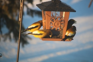 Photo four male grosbeaks at bird feeder