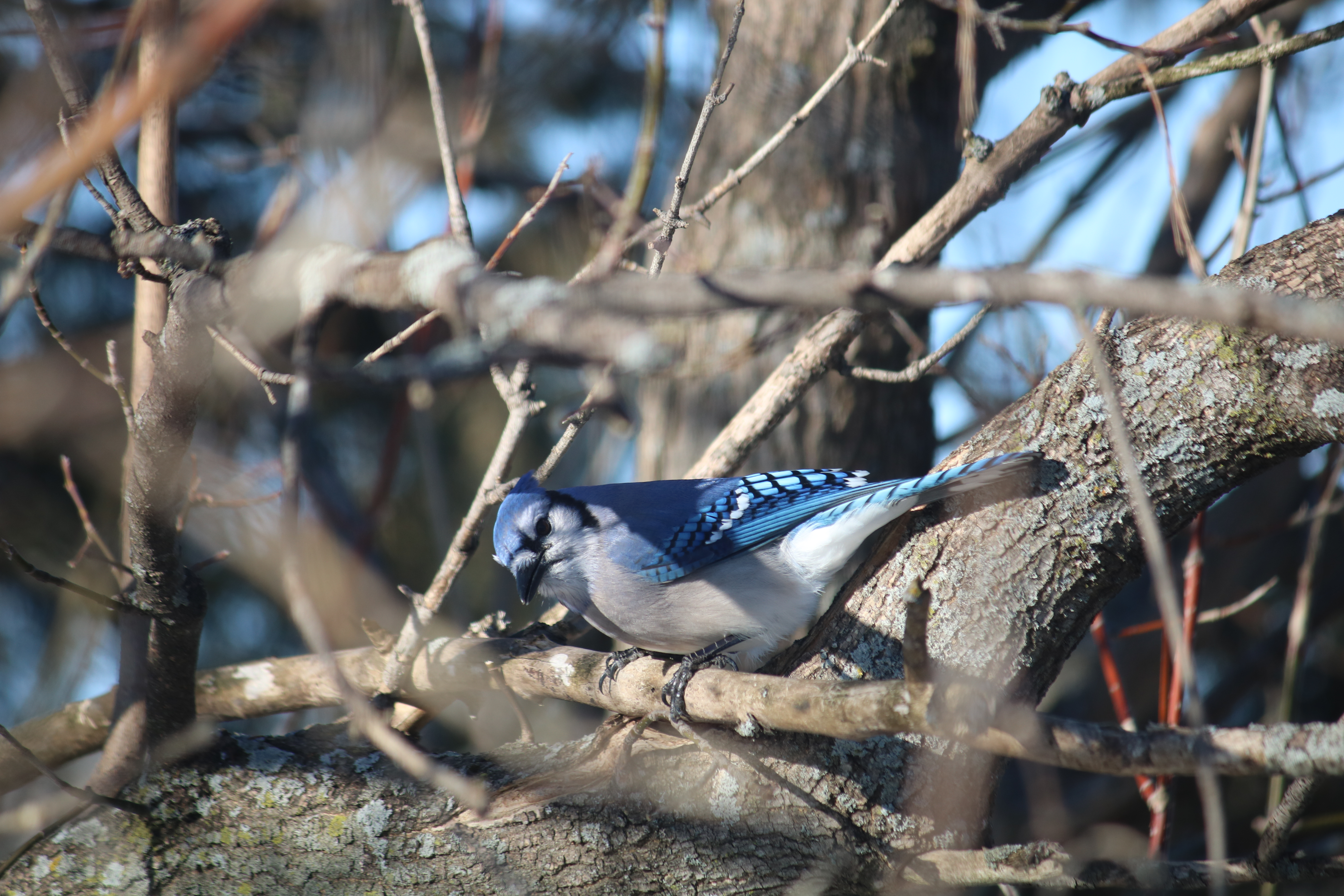 blue jay in a tree looking at the camera