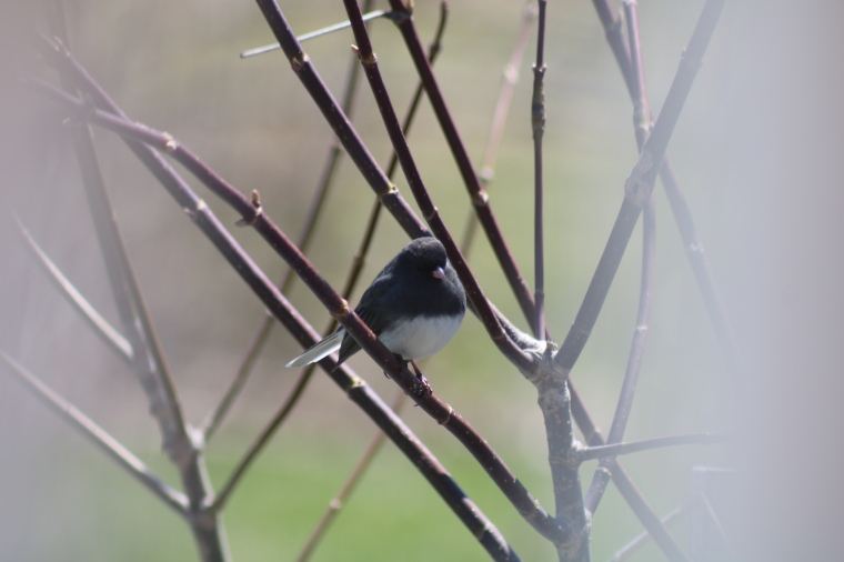 Snowbird, dark eyed junco