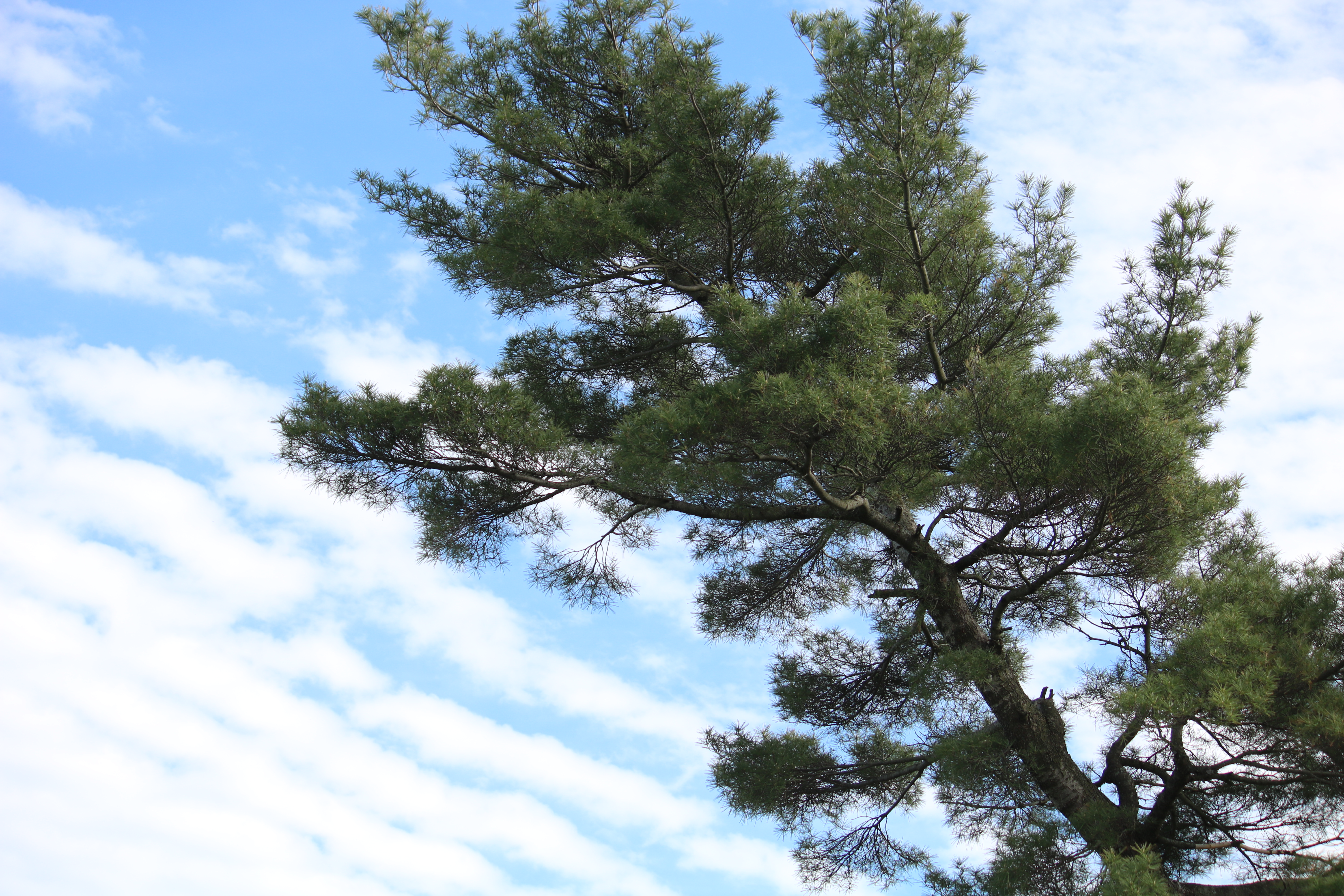 photo of blue sky with white ridged (washboard) clouds and a large crooked pine tree.