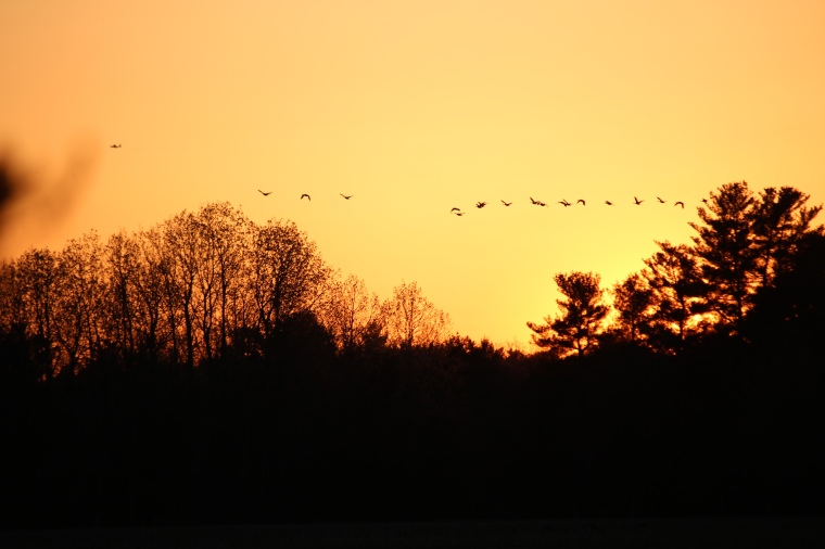 Geese flying by at sunset