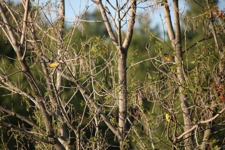 Male and female Baltimore Oriole