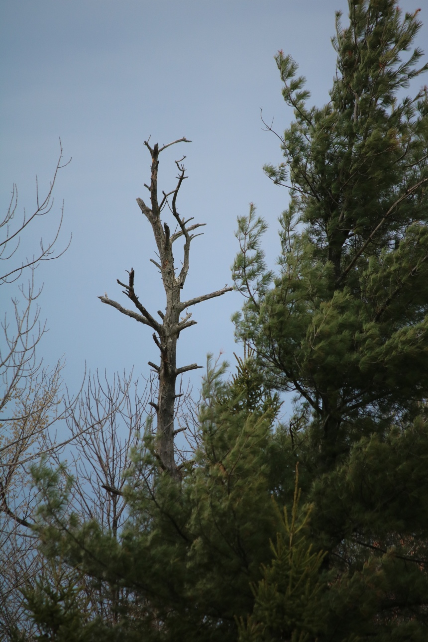 Photo of dead tree against dark blue sky