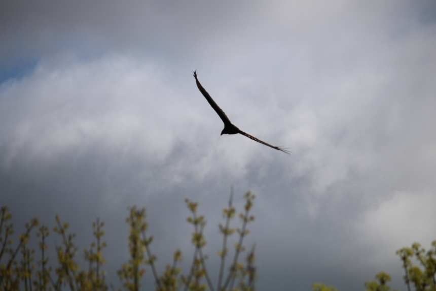 Photo of turkey vulture in flight