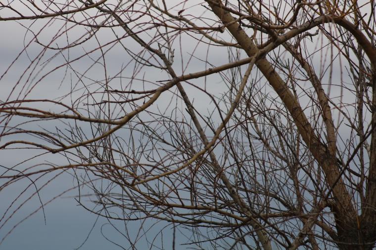 Photo of willow tree branches against steely blue sky