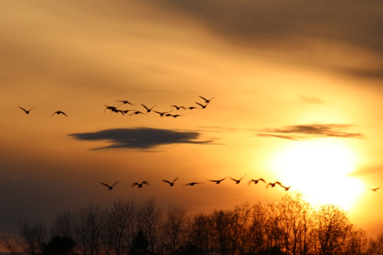 Geese flying at sunset in front of setting sun