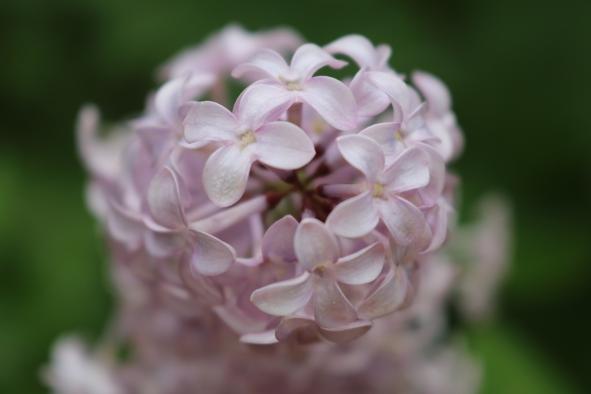 Close up of lilac