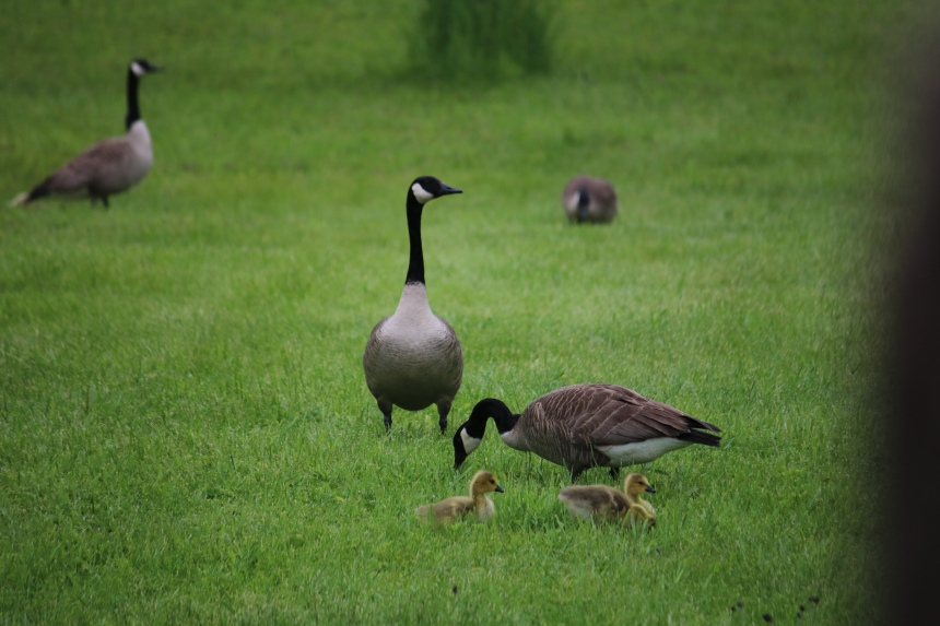 Family of Canadian geese with goslings