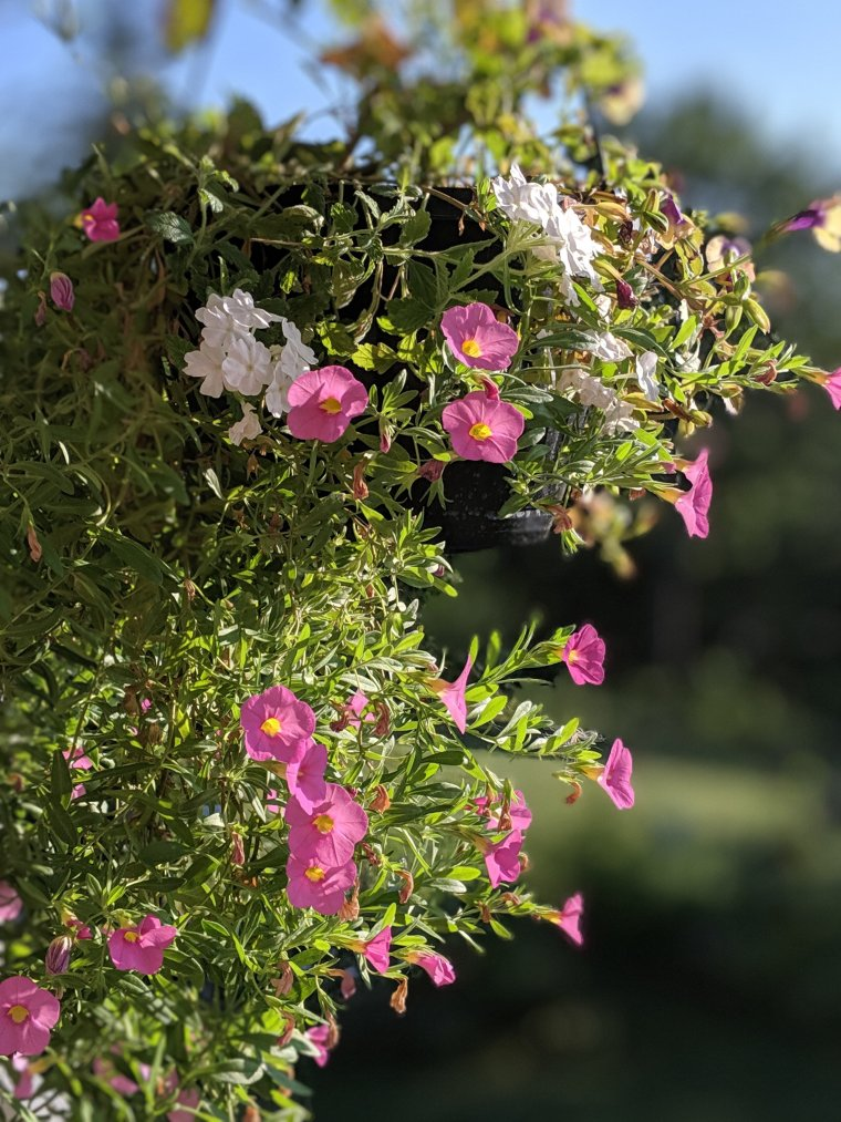 Hanging basket of purple, pink and white flowers