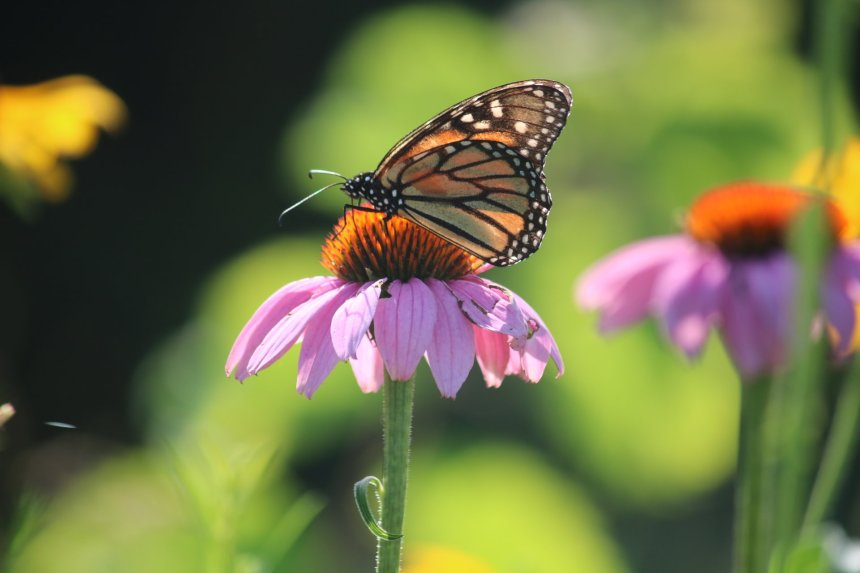 Monarch butterfly on echinacea (cone) flower