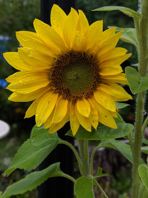 sunflower with raindrops on petals