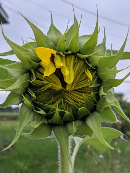 sunflower unfurling its petals