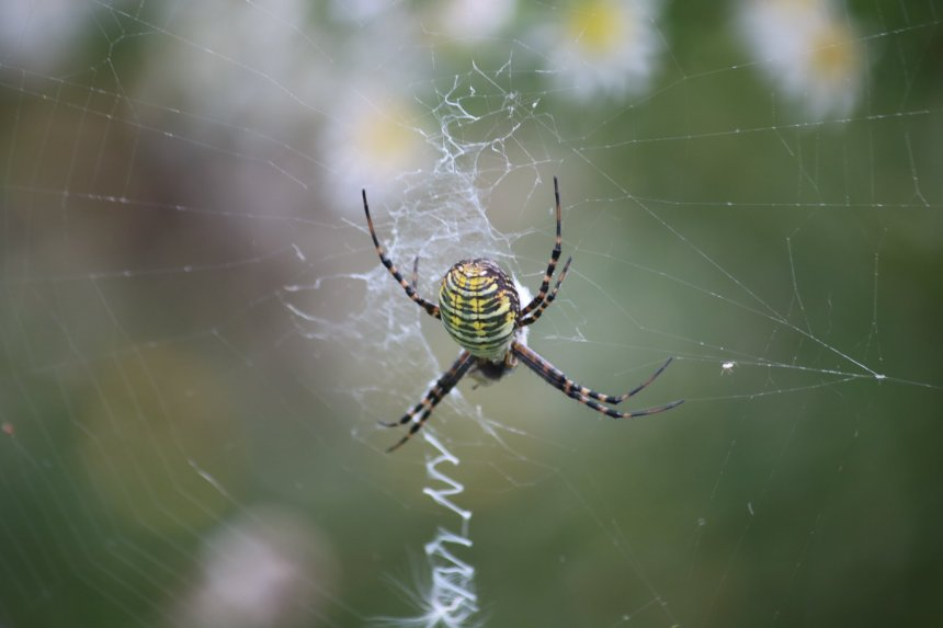 Yellow and black striped spider in middle of web with a zigzag web line vertical beneath it