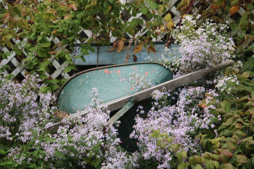 Wheelbarrow on its side against lattice, wildflowers growing around it and a chipmunk sitting on the edge