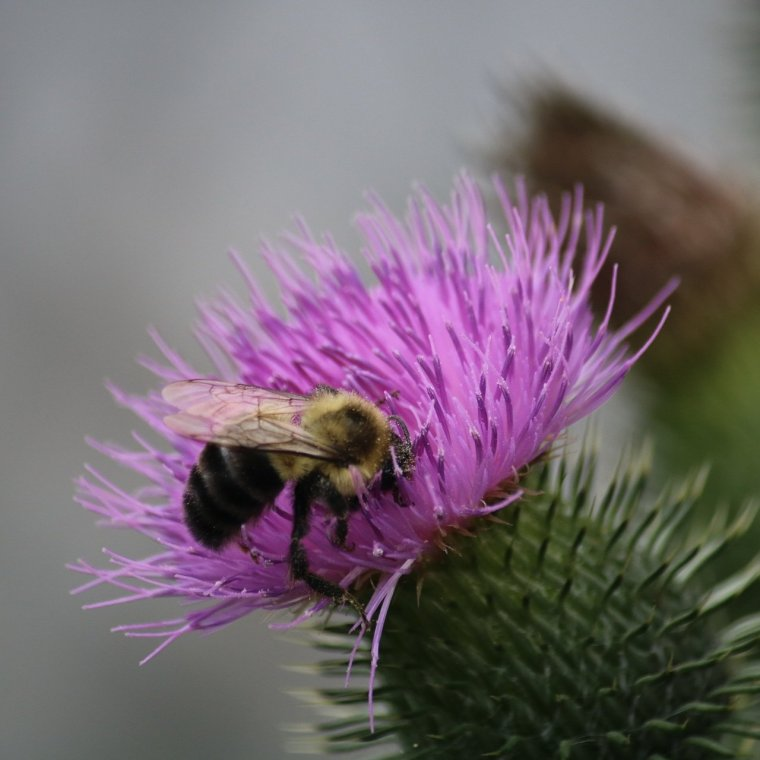 Bee on a purple thistle