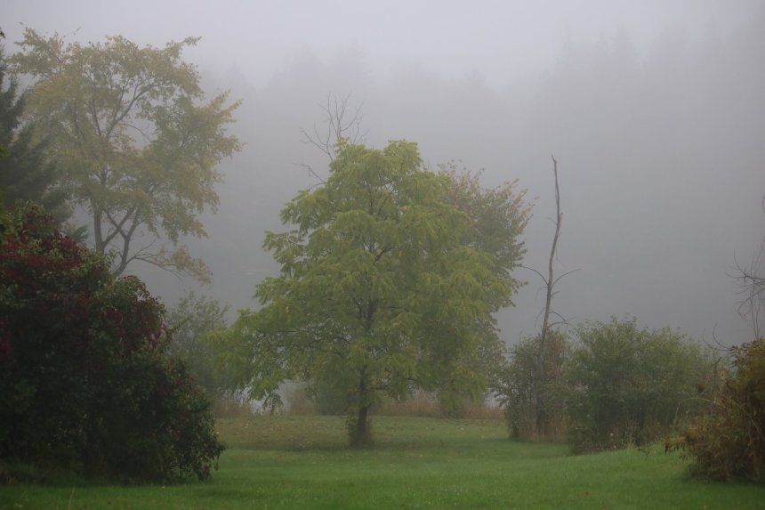 Landscape trees and lawn in fog
