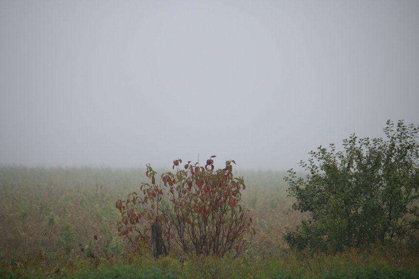 Bushes in the fog