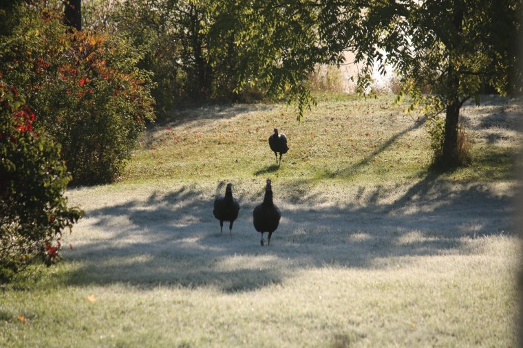 Three wild turkeys