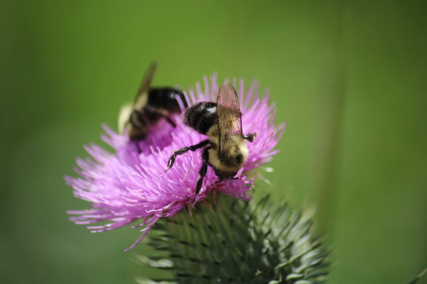 Two bees on a pink thistle