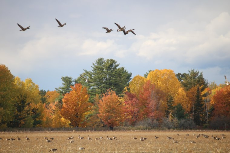 Fall scene with coloured leaves on trees and geese taking flight from freshly cut field
