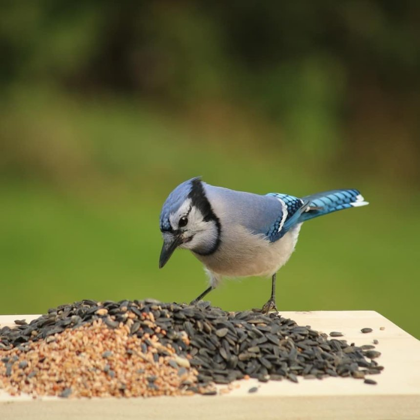 Blue jay looking at pile of seeds on platform feeder