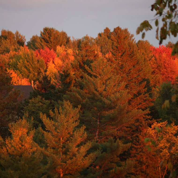Coloured leaves awash in orange glow from setting sun