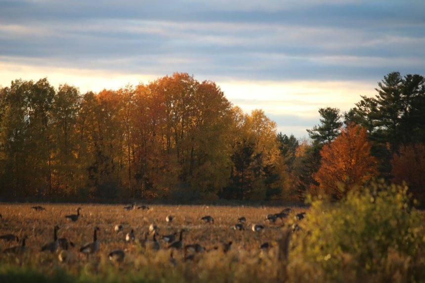 Field of geese as sun goes down