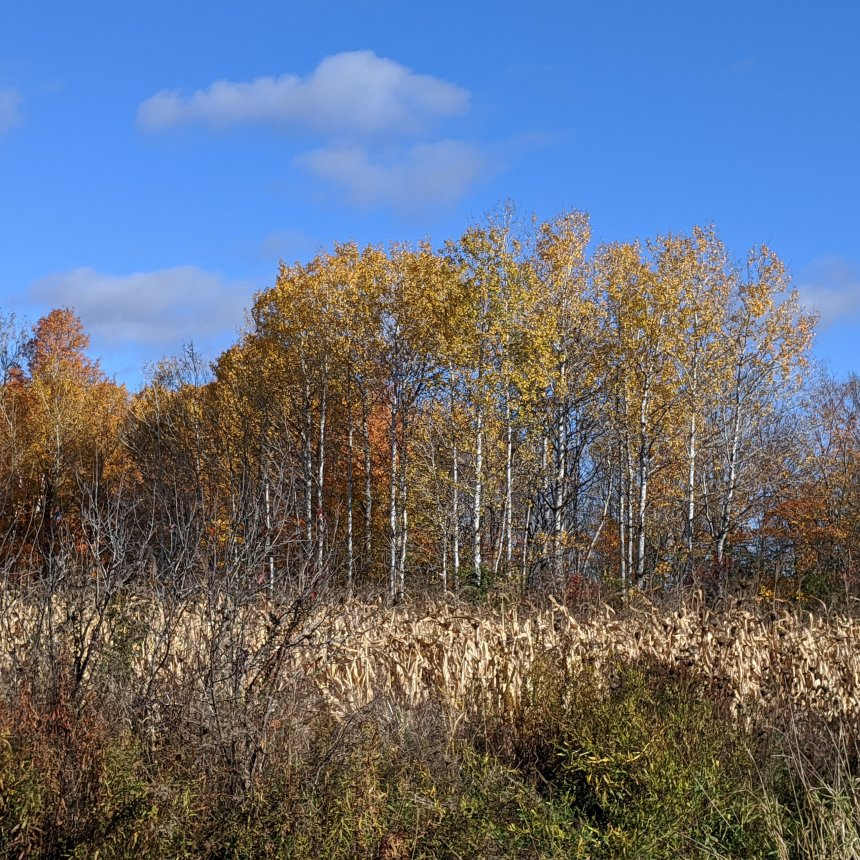 Birch trees along a field of corn.
