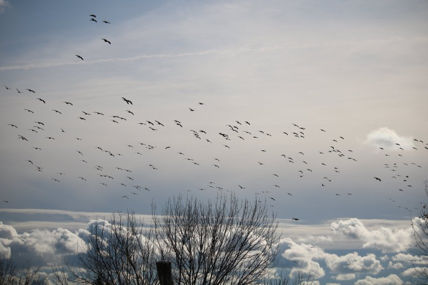 Hundred of geese fly overhead preparing to land on a river