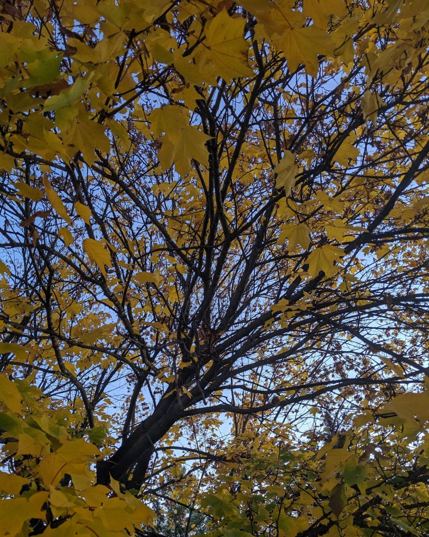 Maple tree with yellow and green leaves