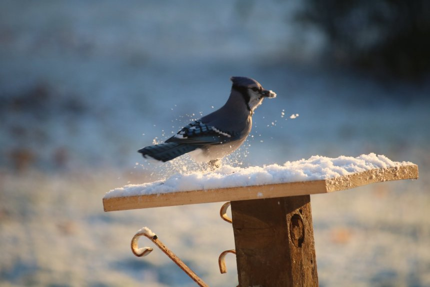 Blue jay on snow covered platform feeder has seeds in his beak and snow and snow is kicked up in the air around him. The rising sun baths him and the feeder in a warm orange glow.