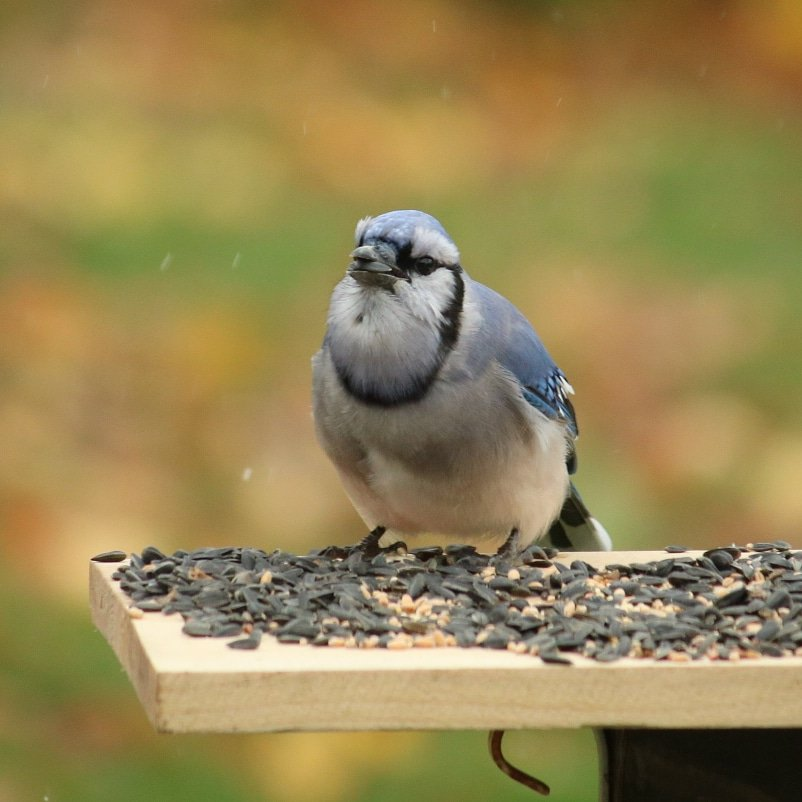 Blue jay on platform feeder looking at the camera