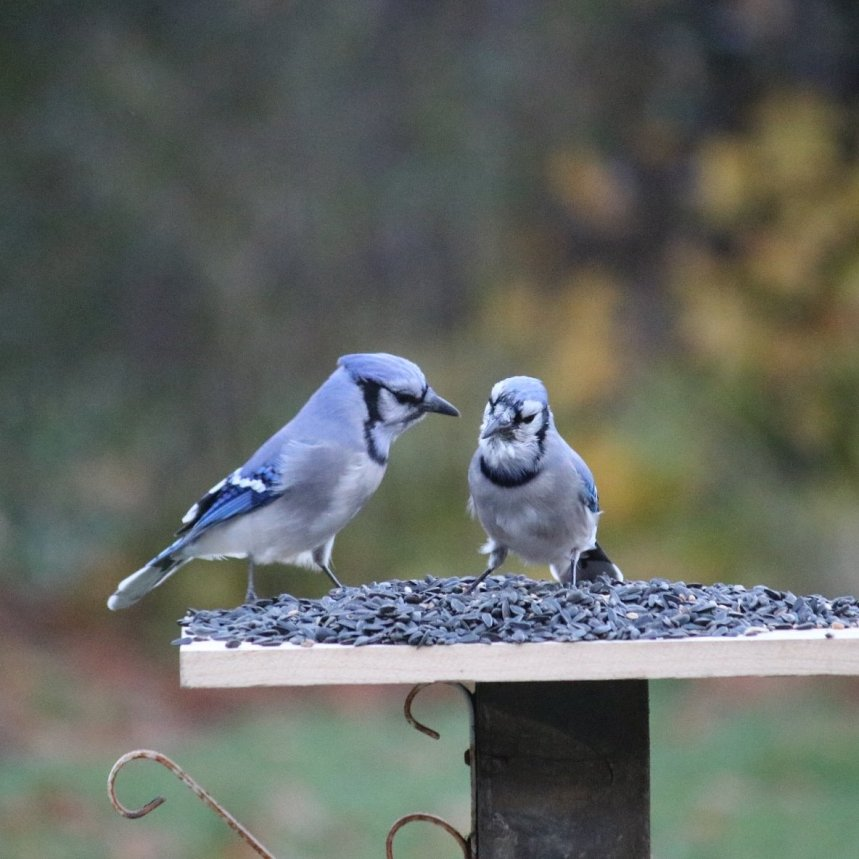 Two blue jays on a platform feeder appear to be discussing something