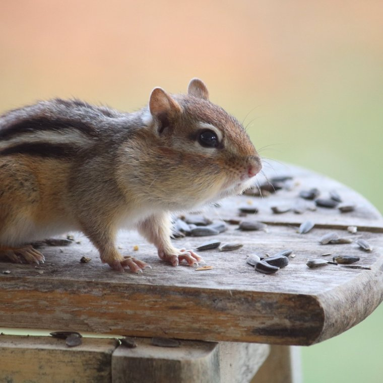 Chipmunk on a stool full of black sunflower seeds