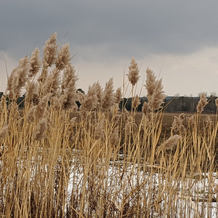 Ornamental grass growing in a ditch and blowing in the wind against a smokey grey sky