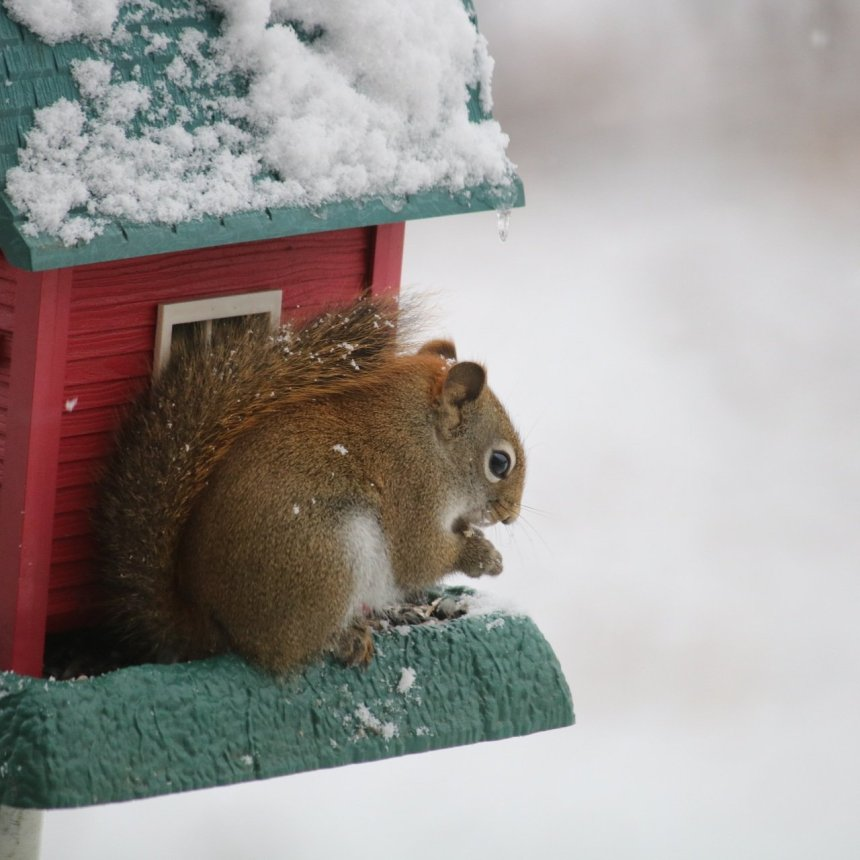 Red squirrel eating bird seed at a red barn bird feeder