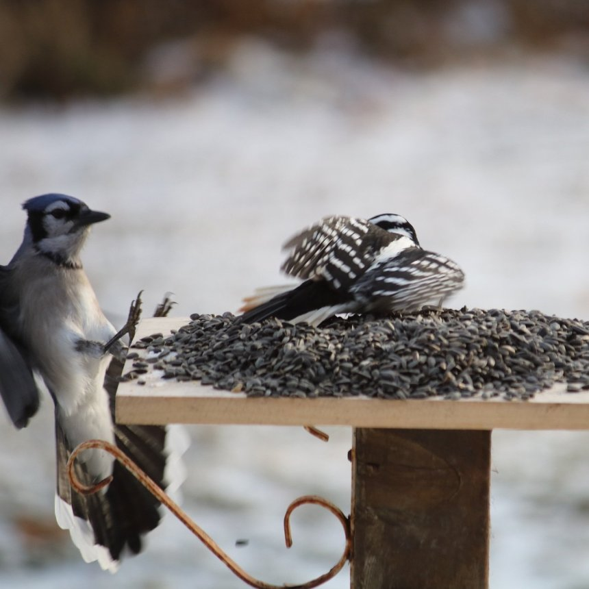Blue jay landing on side of feeder, woodpecker has feathers famned