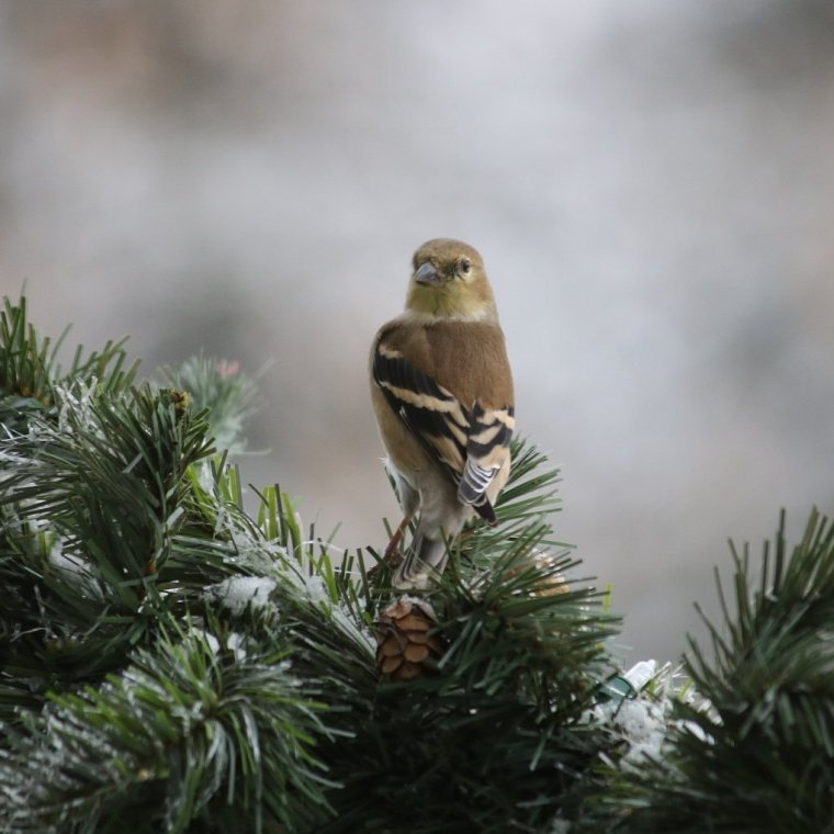 Golden Finch, yellowish bird, perched on green garland, peering into the camera