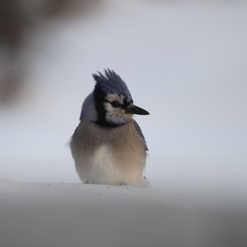 Blue jay with ruffled crown, sits on platform feeder, looking at camera
