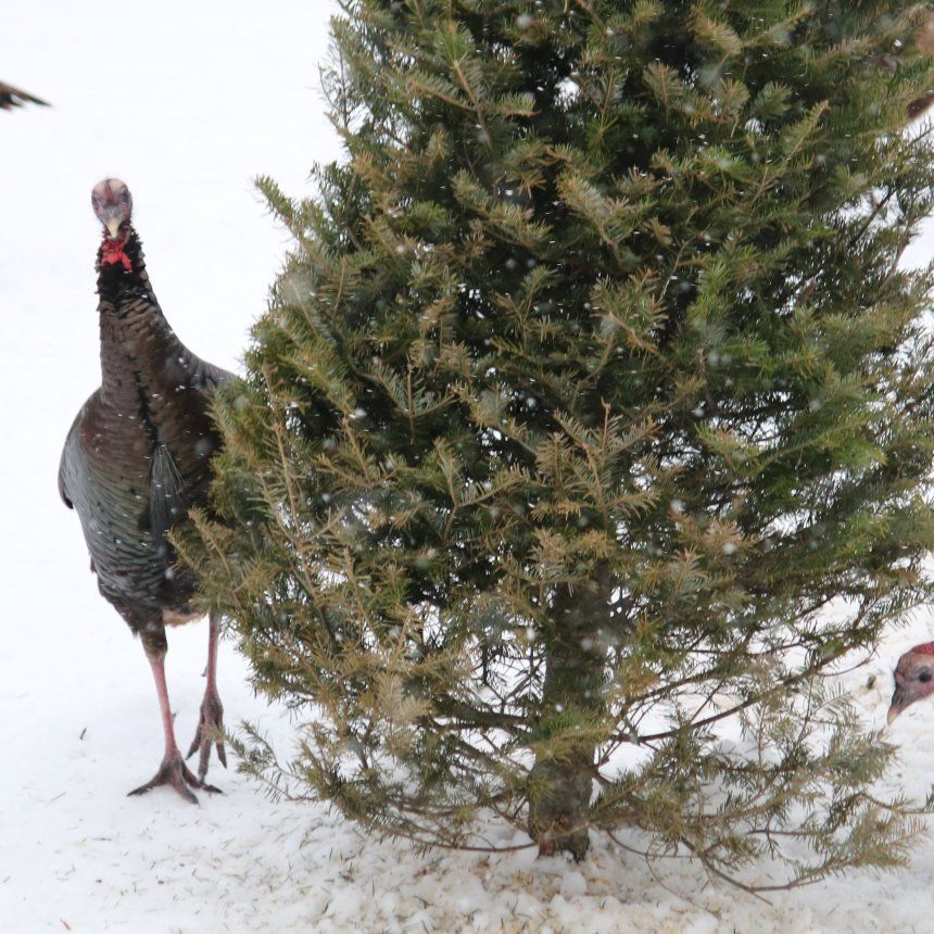 Turkey standing next to spruce tree looking at camera