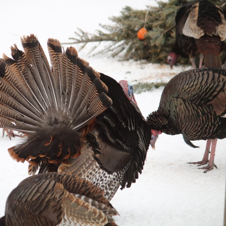 Wild turkey feathers puffed out, tail feathers famned looks stunning