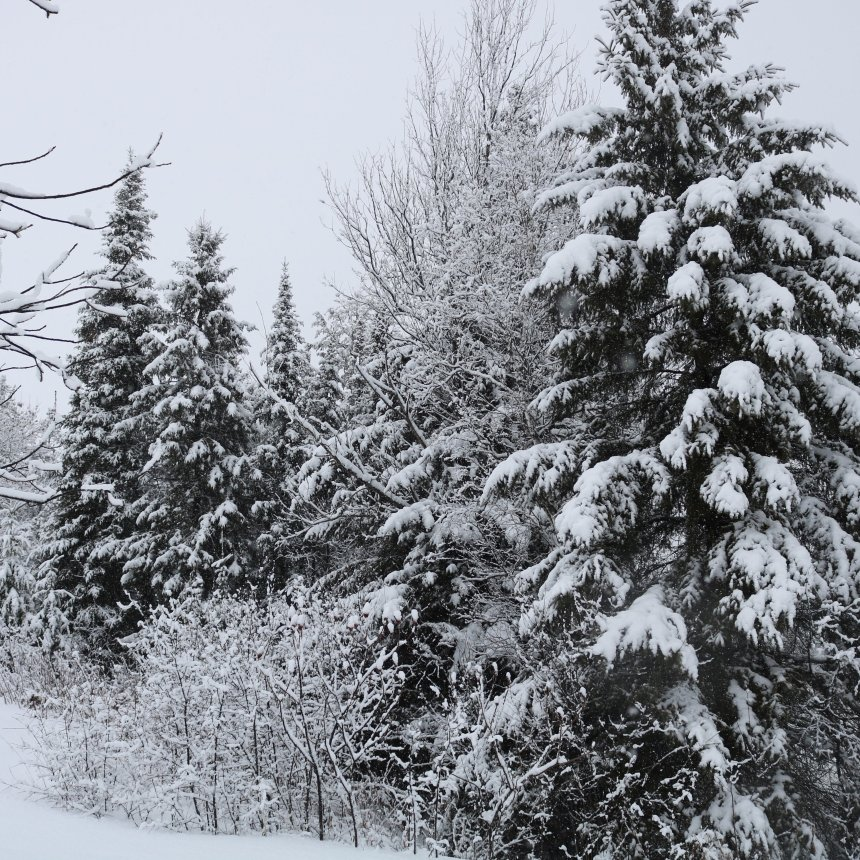 Spruce trees covered in snow